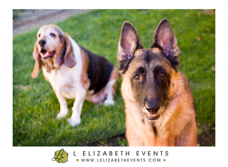 german shepherd, basset hound, dog photos, pet photographer, denver dog photography