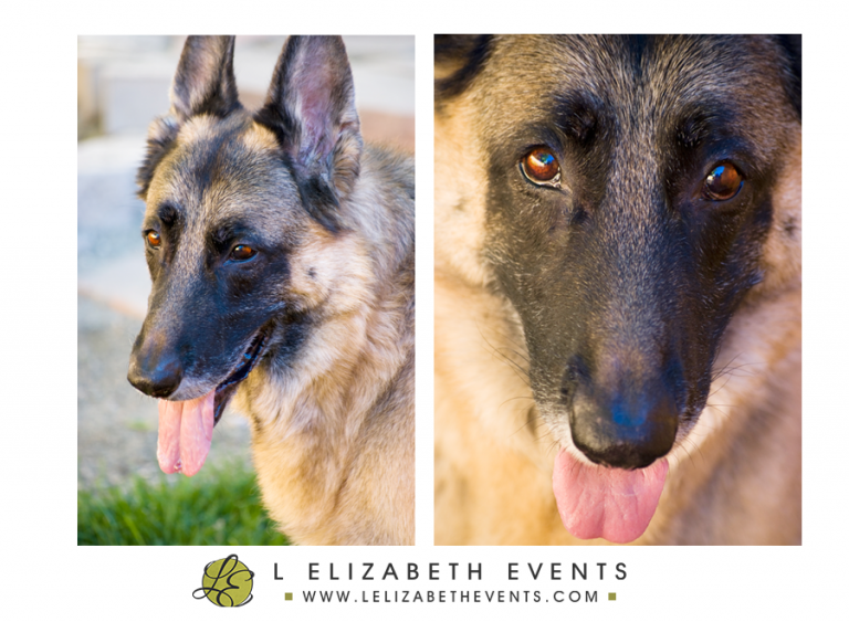 denver pet photography, german shepherd, snout, denver dog photographer, colorado pet photography