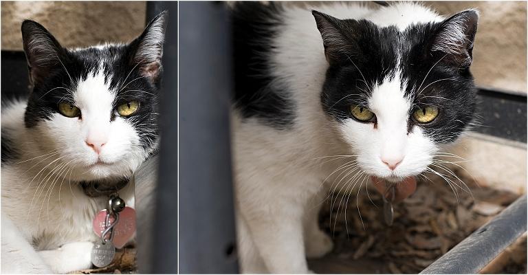 cat portraits, pet photography, denver pet photographer, black and white cat