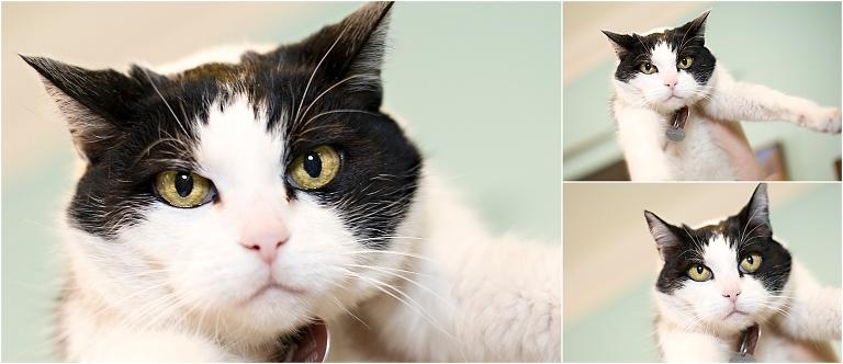 holding cat,cat portraits, pet photography, denver pet photographer, black and white cat, squishy face